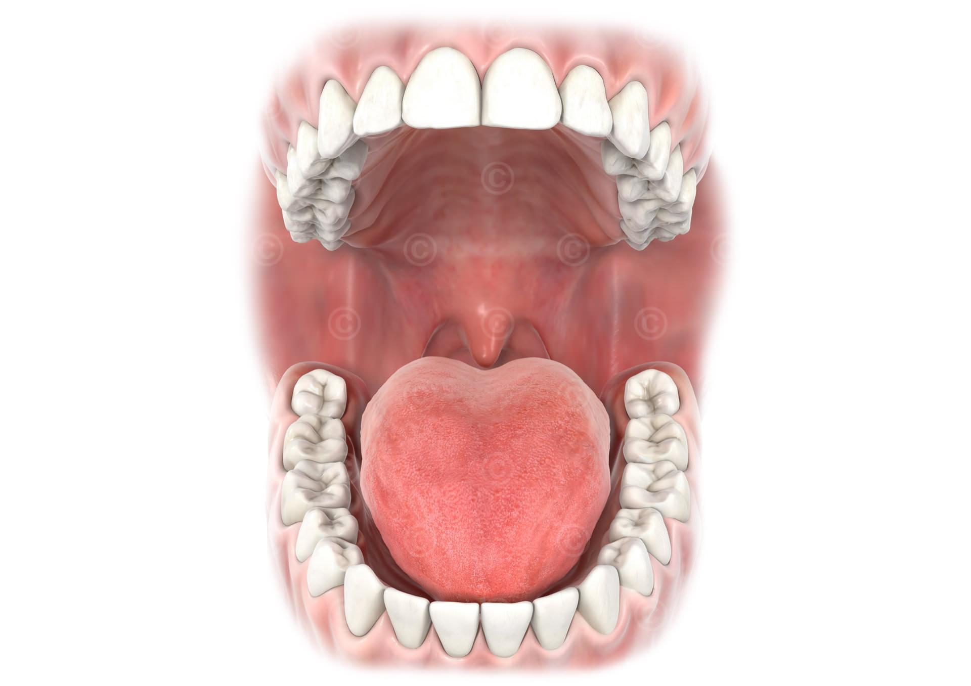 Offener Mund mit Zähnen - Medizinische Illustration und Grafik